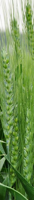 wheat_fade
