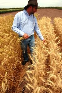Photo of wheat in field