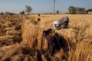 Wheat Farming in India