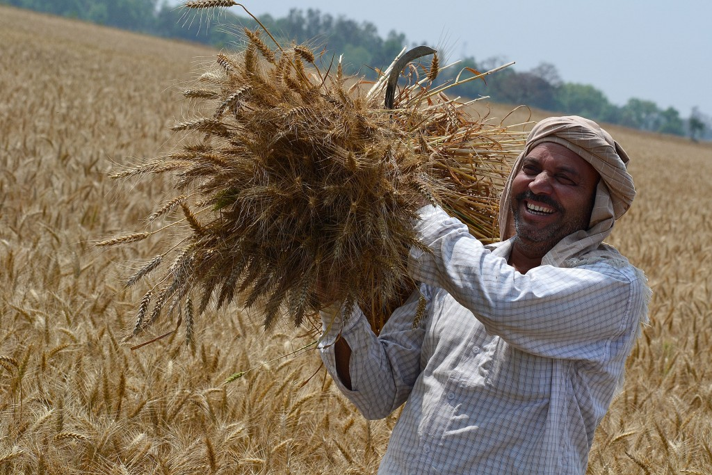 Farmer with wheat harvest (2)
