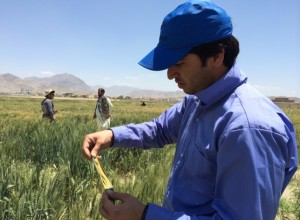 Zaki Afshar in the field at CIMMYT Afghanistan after the 2015 Basic Wheat Improvement Course