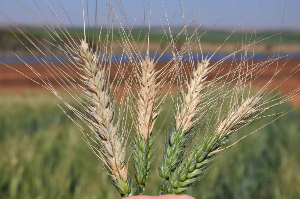 Blast wheat Duveiller Brazil 2009 (2)
