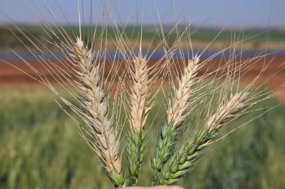 wheat blast » CGIAR Research Program on WHEAT