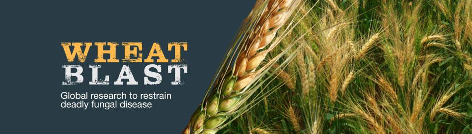 cgiar research program on wheat cgiar research program on wheat